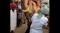 camel sucked boobs of rajasthani girl