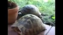 Tartaruga pegando esposa sem dó nem piedade , pra bater a vida toda