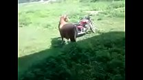 Lusty bull